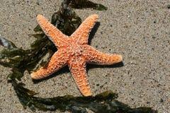 czerwona piasek rozgwiazdy Zdjęcia Royalty Free