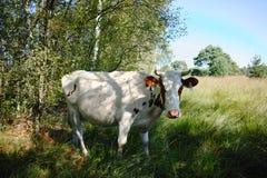 Czerwona Pied krowa na krowa paśniku blisko lasu Zdjęcie Royalty Free