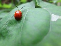 Czerwona pluskwa na zieleni liście obrazy royalty free