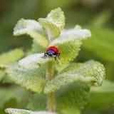 Czerwona pluskwa na zielonej roślinie opuszcza zdjęcia stock