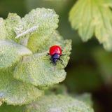 Czerwona pluskwa na zielonej roślinie opuszcza obraz stock