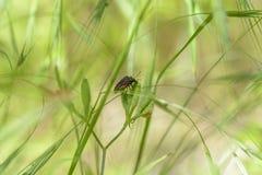 Czerwona pluskwa w trawie zdjęcie stock