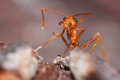 Czerwona pożarnicza mrówka Zdjęcia Royalty Free
