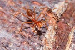 Czerwona pożarnicza mrówka Obrazy Stock