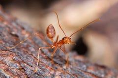 Czerwona pożarnicza mrówka Fotografia Royalty Free