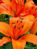 Czerwona Pomarańczowa Tygrysia leluja dodaje kolor ogród fotografia stock