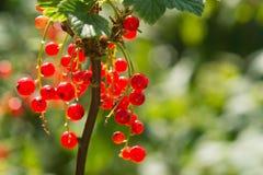 czerwona porzeczka Dojrzały i Świeży Organicznie Czerwonego rodzynku jagod Rosnąć fotografia stock