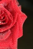 czerwona róża obraz stock