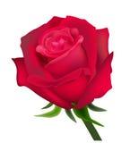 czerwona róża Zdjęcie Royalty Free