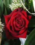 - czerwona róża głęboko. obrazy royalty free