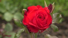 czerwona róża 4K zdjęcie wideo