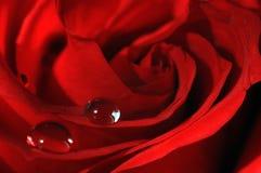 czerwona róża makro obraz royalty free
