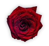 czerwona róża mokra Zdjęcia Royalty Free