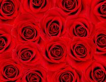 czerwona róża tło Fotografia Royalty Free