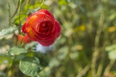 czerwona róża tło Fotografia Stock
