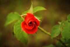 czerwona róża zielone liści zdjęcie stock