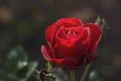 czerwona róża Zdjęcia Royalty Free