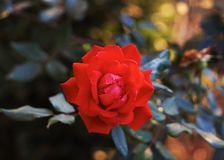 czerwona róża Obrazy Royalty Free