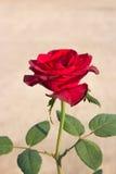 czerwona róża Zdjęcia Stock