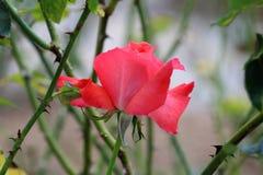 czerwona róża Zdjęcie Stock