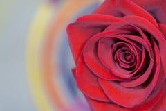 czerwona róża makro Zdjęcie Stock