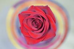 czerwona róża makro Zdjęcie Royalty Free