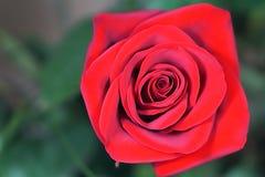 czerwona róża makro Fotografia Royalty Free