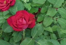 czerwona r??a Kwitnąca czerwieni róża w miasto ogródzie Rewolucjonistki r??a na tle zieleni li?cie zdjęcie royalty free