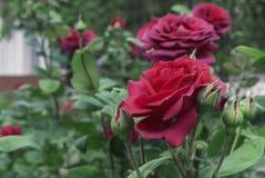 czerwona r??a Kwitnąca czerwieni róża w miasto ogródzie Rewolucjonistki r??a na tle zieleni li?cie obrazy royalty free