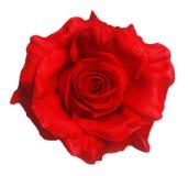czerwona róża odizolowana Obrazy Stock