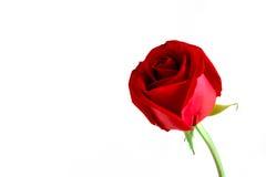 czerwona róża odizolowana Zdjęcia Stock