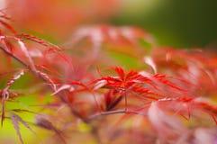 Czerwona roślina Fotografia Royalty Free