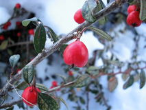 czerwona rosehip zimy jagody Zdjęcie Royalty Free