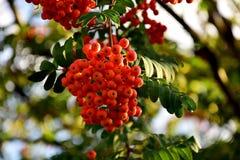Czerwona rowan owoc na drzewie wśród zielonych liści obraz stock