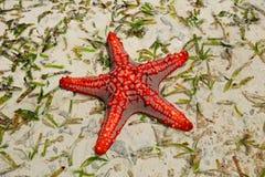 czerwona rozgwiazdy Obrazy Stock
