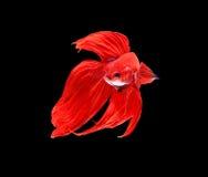 Czerwona siamese bój ryba, betta ryba odizolowywająca na czarnym backgrou fotografia stock