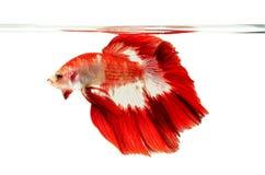 Czerwona siamese bój ryba odizolowywająca na bielu Zdjęcie Royalty Free