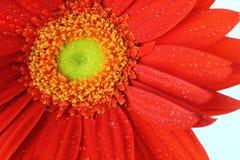 Czerwona stokrotka Z kropli wodą - Obraz Stock