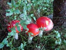 Czerwona substanci toksycznej pieczarka w lesie Zdjęcie Stock
