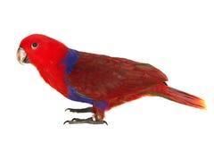 Czerwona szlachetna papuga obraz royalty free