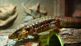 Czerwona tegu tupinambis rufescens jaszczurka zbiory wideo