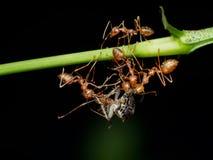 Czerwona tkacz mrówek praca zespołowa, Czerwona mrówki praca zespołowa Obraz Royalty Free