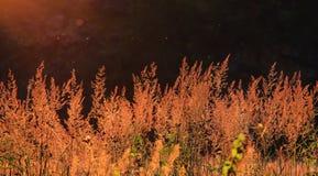 Czerwona trawa w zmierzchu Obrazy Royalty Free