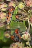 Czerwona trojeści ściga na trojeści roślinie w Connecticut Zdjęcie Royalty Free