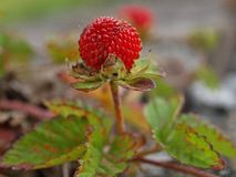 Czerwona truskawka na dzikiej truskawkowej roślinie zdjęcie stock