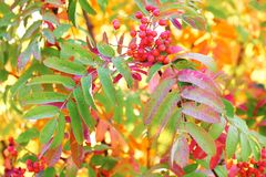 Czerwona wiązka rowan nad czerwienią, kolorem żółtym i zielenią, żyje fotografia royalty free