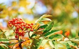 Czerwona wiązka rowan nad czerwienią, kolorem żółtym i zielenią, żyje słoneczny dzień Zdjęcie Stock