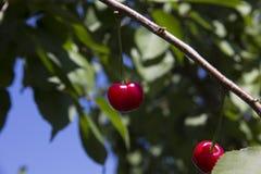 Czerwona wiśnia na drzewie obrazy royalty free