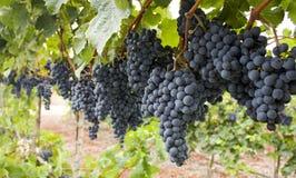 Czerwona wiązka winogrona.