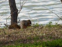 Czerwona wiewiórka łapie moment zamykający oko fotografia stock